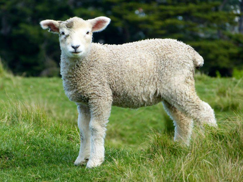 image de mouton